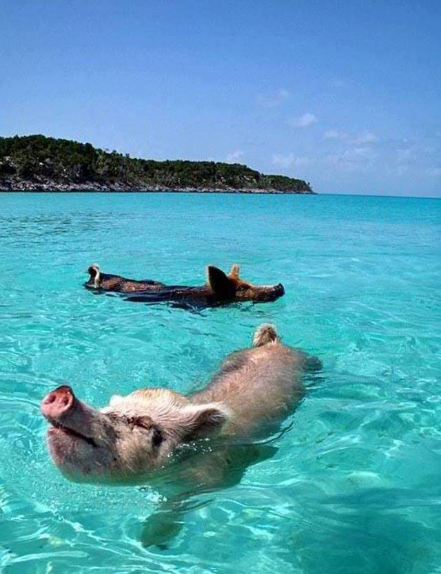 swimming pigs bacon